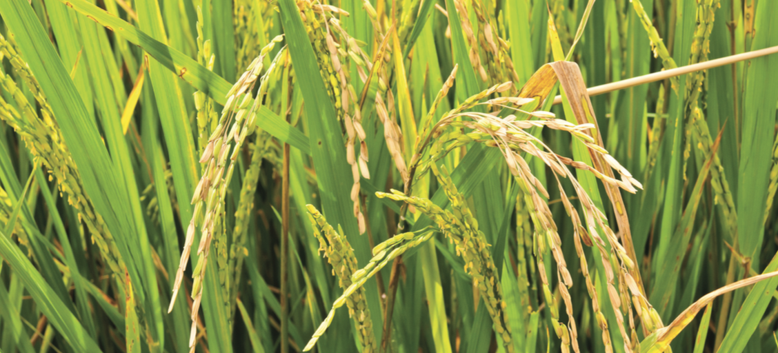 Developments In Rice Research Visions And Pragmatism World